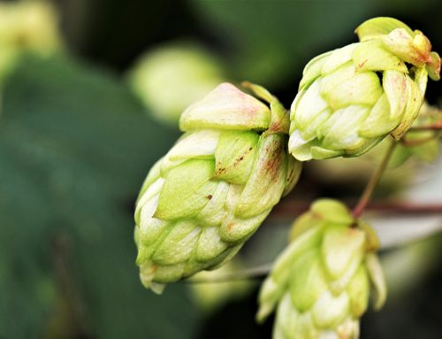 Hops, key in the elaboration of craft beer