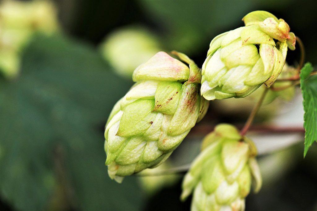 Ejemplo de flores de lúpulo